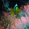 ANEMONE_CLOWN_MAYOTTE