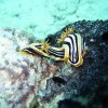 NUDIBRANCHE_MAYOTTE